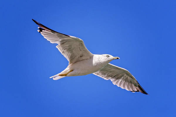 Photograph - Gull In Flight by Peter Lakomy