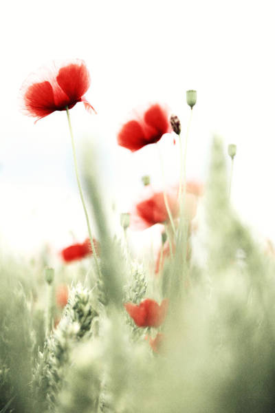 Wall Art - Photograph - Poppies by Falko Follert