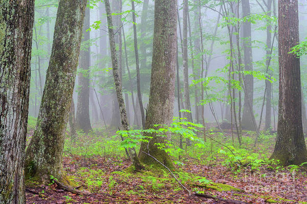 Photograph - Spring Monongahela National Forest by Thomas R Fletcher