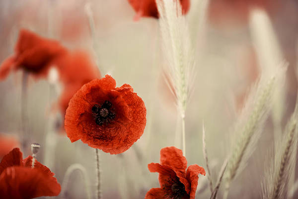 Grow Wall Art - Photograph - Summer Poppy Meadow by Nailia Schwarz