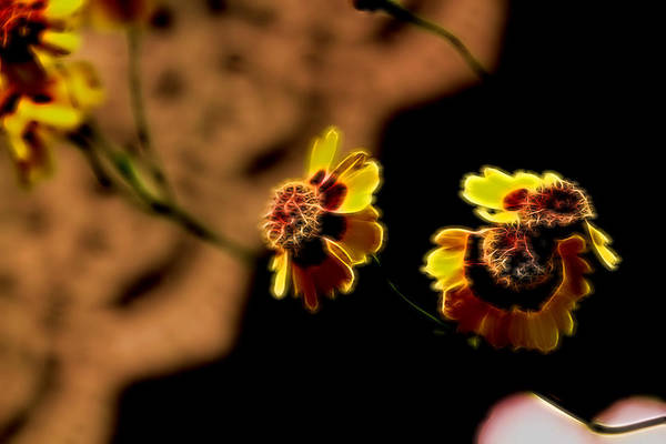 Photograph - 9792-'cosmic Eye' Coreopsis by Ericamaxine Price