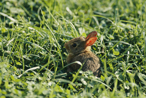 Cottontail Photograph - A Baby Cottontail Rabbit Sits Among by George F. Mobley