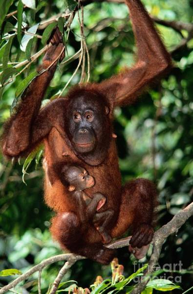 Photograph - A Baby Orangutan Clings To Its Mother by Tim Laman