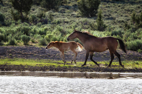 Photograph - A Bay And Her Colt Running By The Waterhole by Belinda Greb