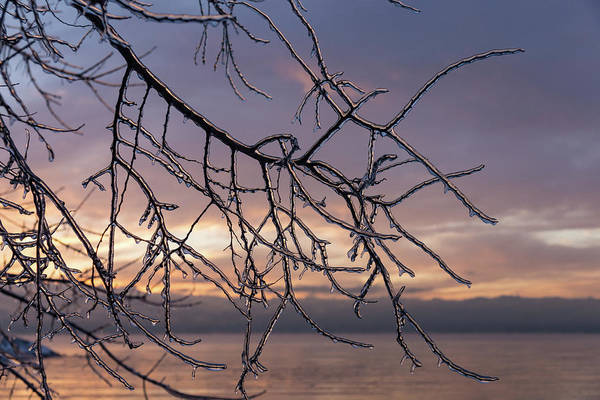 Photograph - A Beautiful Aftermath Of An Ice Storm - Branch Pattern On Rosy Blues - Right by Georgia Mizuleva