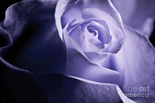 Wall Art - Photograph - A Beautiful Purple Rose by Micah May