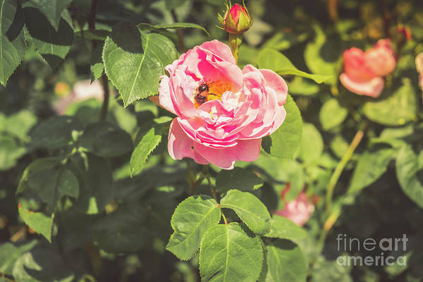 Photograph - A Bee Collects Pollen From A Rose by Marina Usmanskaya
