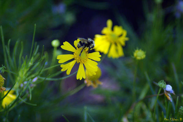 Photograph - A Bee On A Flower #2 by Ben Upham III