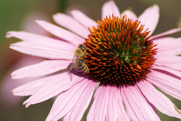 Photograph - A Bee On A Flower by Ben Upham III