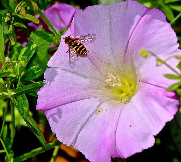 Photograph - A Bee On A Morning Glory by Lynda Anne Williams