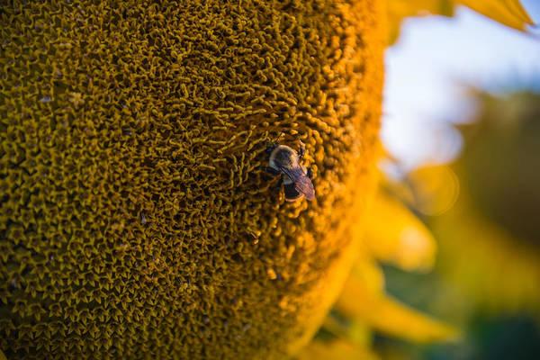 Wall Art - Photograph - A Bee On The Sun by Kristopher Schoenleber