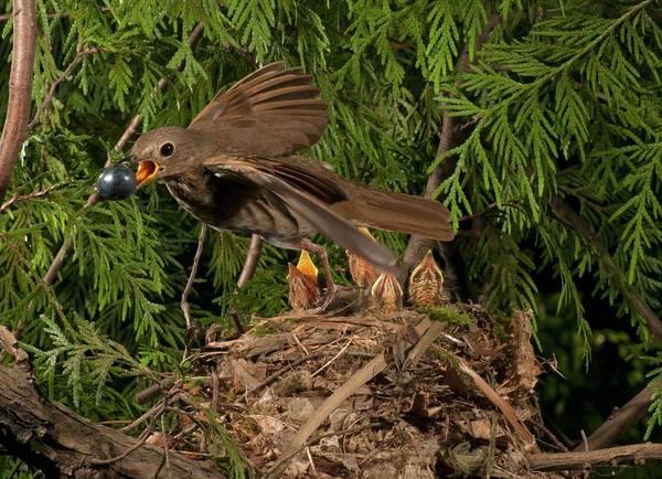 Swainsons Thrush Photograph - A Big Berry by Damon Calderwood