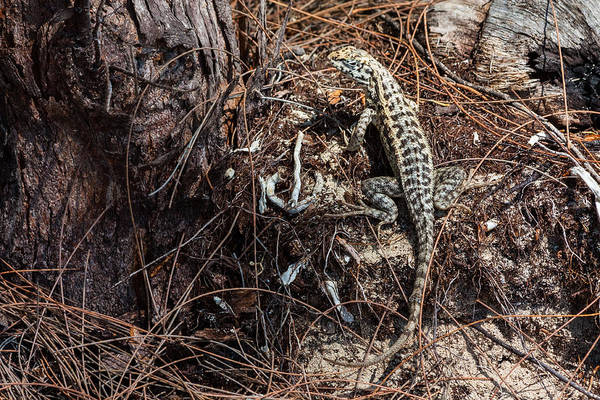 Photograph - A Bimini Curly-tailed Lizard by Ed Gleichman