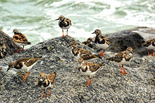 Wall Art - Photograph - A Bind Of Turnstones by William Tasker
