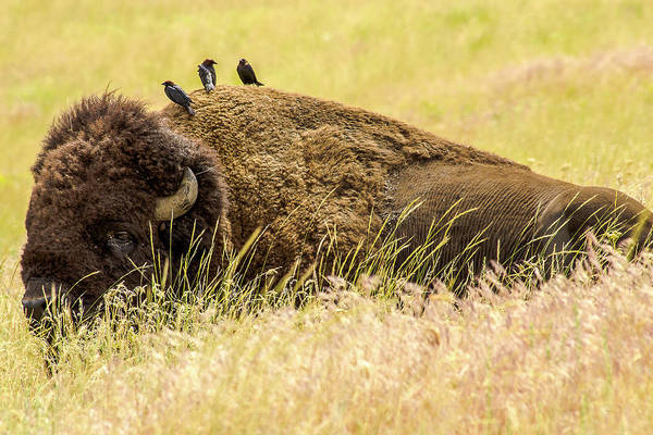 Cowbird Photograph - A Bison And The Freeloaders by Amy Sorvillo