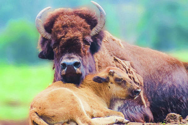 Digital Art - A Bison Cow With Her Calf. by Rusty R Smith