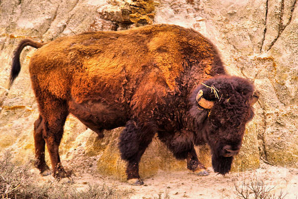 Wall Art - Photograph -   A Bison In The Badlands by Jeff Swan