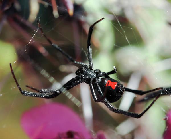Wall Art - Photograph - A Black Widow Spider In Its Web by Derrick Neill