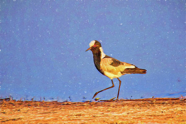 Photograph - Blacksmith Lapwing Sketch by Kay Brewer