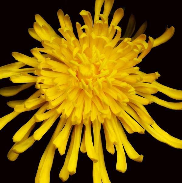 Photograph - A Blast Of Sunshine - Spider Mum by KJ Swan