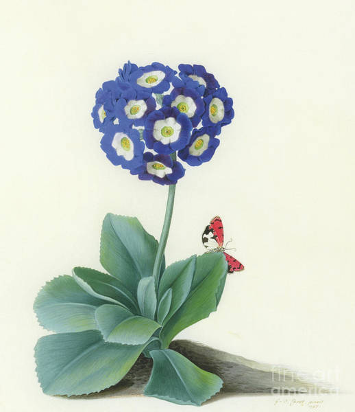 Wall Art - Painting - A Blue Auricula by Georg Dionysius Ehret
