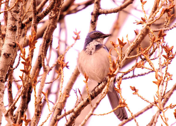 Living Things Photograph - Western Scrub Jay by Jeff Swan