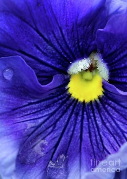 Photograph - A Blue Pansy by Sabrina L Ryan