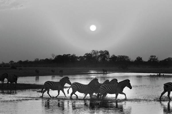 Photograph - A Botswana Zebra Sunset In Black And White by Kay Brewer