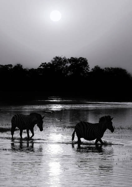 Photograph - A Botswana Zebra Sunset In Black And White, Portrait by Kay Brewer