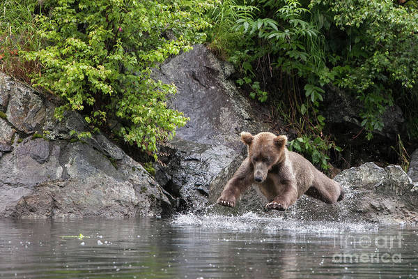 Photograph - A Brown Bear, Ursus Arctos, Jumps Into The Water by Eric Kruszewski