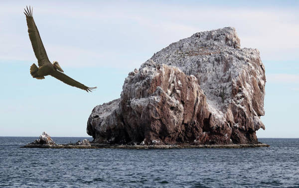 Biota Wall Art - Photograph - A Brown Pelican Does A Flyby Of A Guano Covered Desert Island  by Derrick Neill