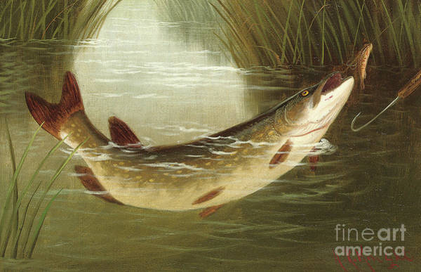Wall Art - Painting - A Brown Trout Coming To The Gaff  by A Roland Knight