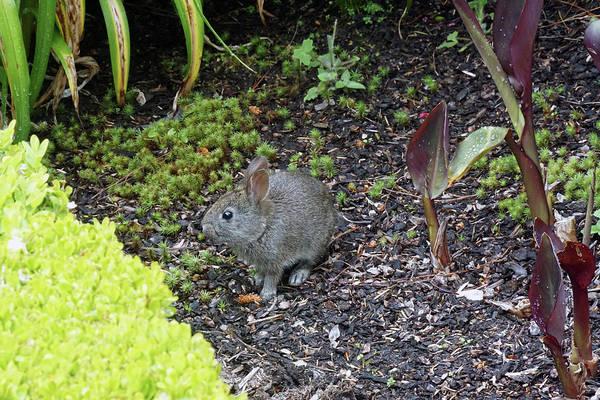 Photograph - A Brush Rabbit by Ben Upham III