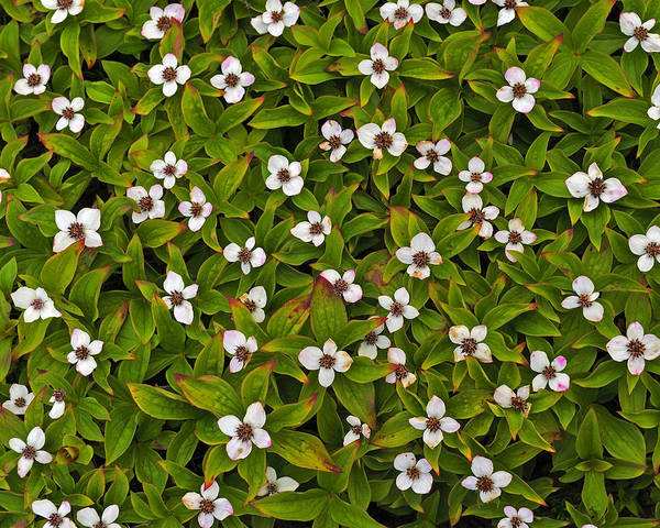 Photograph - A Bunch Of Bunchberries by Tony Beck