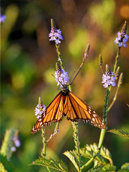 Photograph - A Butterfly by Charles McKelroy