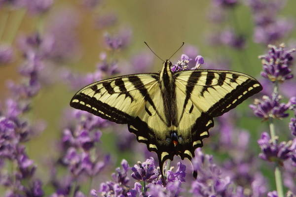 Wall Art - Photograph - A Butterfly On Lavender by Jeff Swan