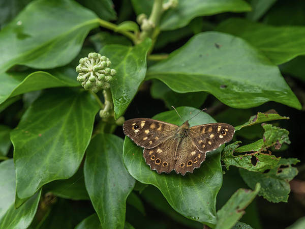 Wildlife Er Photograph - A Butterfly Sitting On An Ivy Leaf by Stefan Rotter