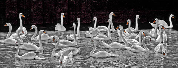 Photograph - A Cacophony Of Swans by Chris Lord