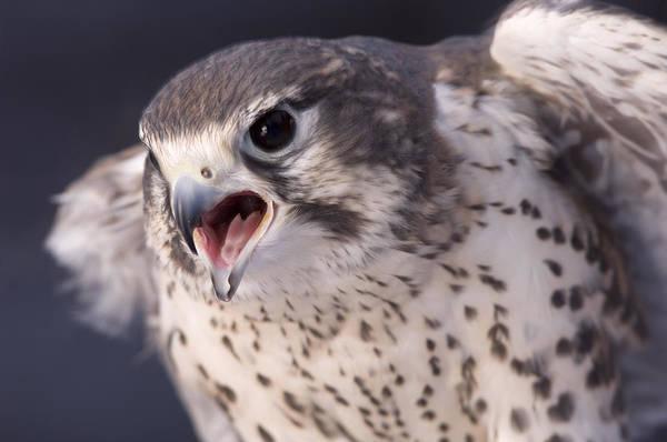 A Captive Prairie Falcon Falco Art Print