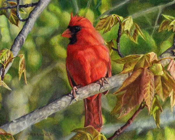Avian Drawing - A Cardinal Named Carl by Shana Rowe Jackson