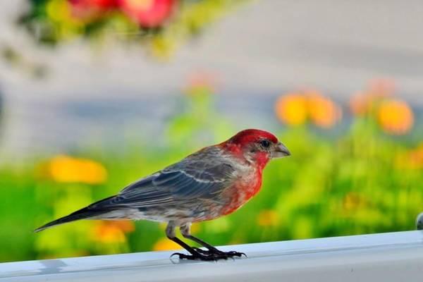 Photograph - A Cardinal Posing by Kim Bemis