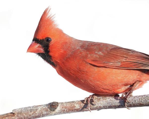 Northern Cardinal Photograph - A Cardinal Says Good Morning by Jim Hughes