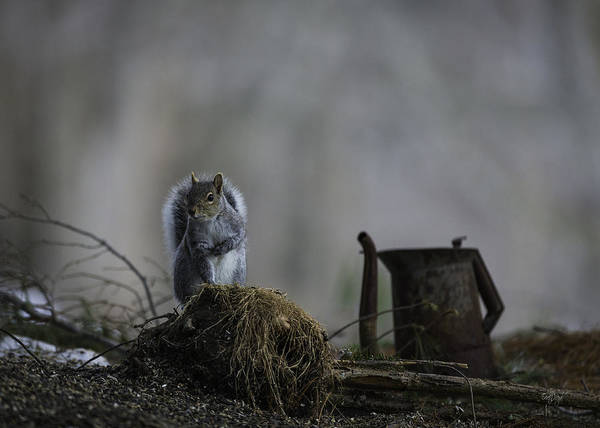 Grey Squirrel Photograph - A Cautious Pause by Everet Regal
