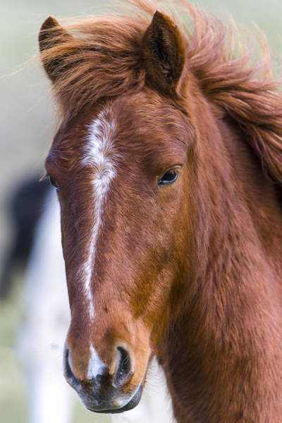 A Chestnut Horse Portrait Art Print