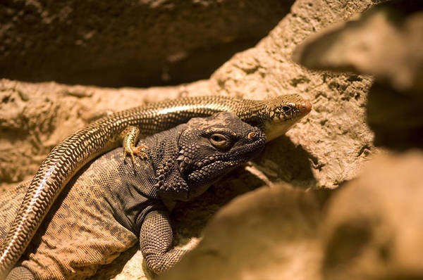 Chuckwalla Photograph - A Chuckwalla Lizard And A Skink by Joel Sartore