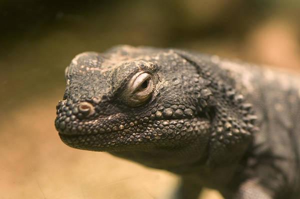 Chuckwalla Photograph - A Chuckwalla Lizard From The Henry by Joel Sartore