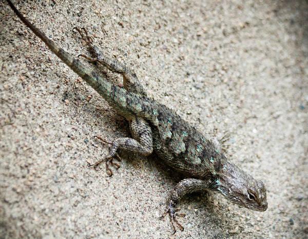Wall Art - Photograph - A Clark's Spiny Lizard On A Wall, Sceloporus Clarkii by Derrick Neill