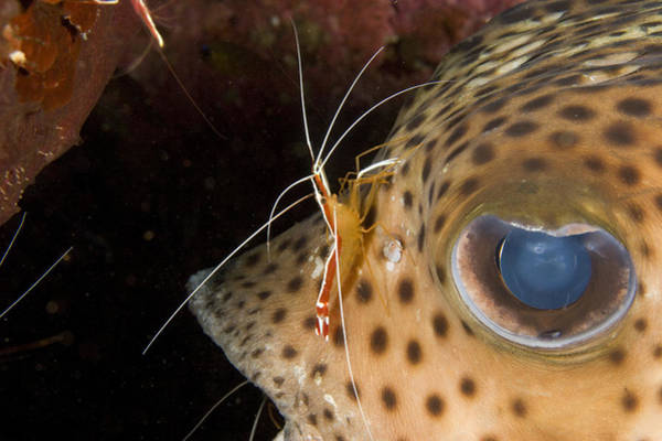 Diodon Photograph - A Cleaner Shrimp Attends by Tim Laman