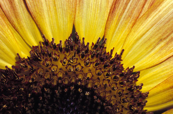 Sunflower Seeds Photograph - A Close-up Detail Of A Sunflower Head by Jason Edwards
