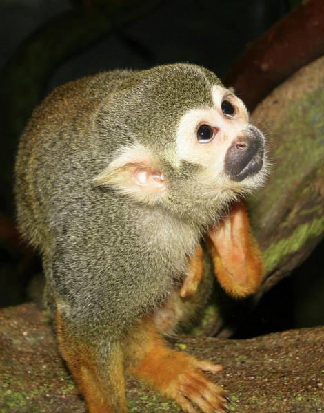 Wall Art - Photograph - A Close Up Of A Squirrel Monkey by Derrick Neill